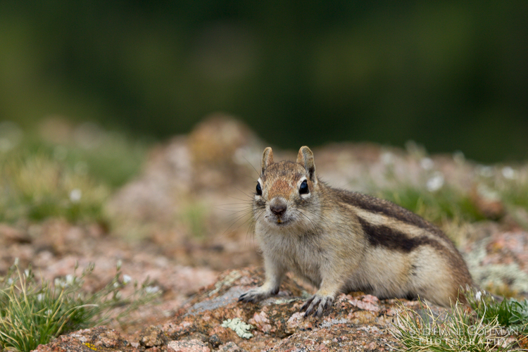 Golden-Manteled Ground Squirrel